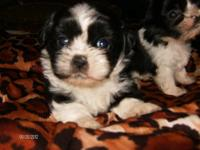 Two very sweet black and white males left! Price