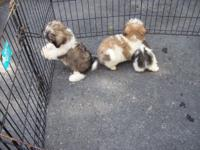 Adorable Male and Female Shih-Tzu puppies are trying to