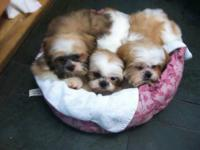 Adorable male/female Shih-Tzu puppies are looking for a