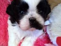 Adorable black white Shih Tzu puppy, 4 weeks old.