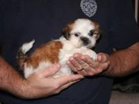 We have gorgeous Shih tzu pups in an assortment of