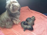 Adorable Shichon (Shih Tzu / Bichon) Puppies. Born Feb