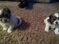 2 stunning little kids. Mom is pure Shih Tzu and dad is