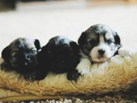3 Stunning male Shihchon young puppies. Ready to go