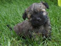 Playful 7 week old young puppy, simply went to