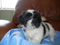 BEAUTIFUL LITTLE MALES, 8 WEEKS OLD, BLACK A ND WHITE,
