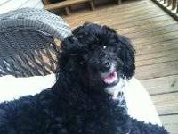 Female shihpoo. Birth date 11/22/12. UTD on all of her