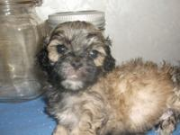The shihpoo is very pretty and ready for a family