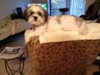 11 month old, female shihpoo. She is spayed,