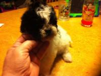 We have one little Shihpoo female prepared for her