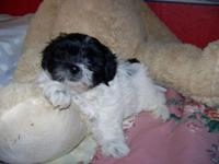 One black and white female shihpoo and one black toy