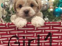 Shihpoo Puppies $300 I have 1 Females and 2 Males