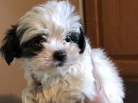 Males and females designer breed shihpoo puppies. Shots