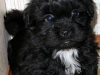 I have a gorgeous litter of Shihpoo young puppies these