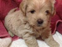 Shih Poo puppies $350 females $300 males dad toy poodle