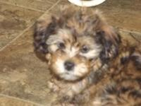 I have 2 adorable male shihpoo puppies they was born on