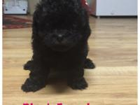 I have six adorable Shihpoo puppies for sell. They will