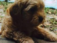 Shihpoo puppies will be ready to go home the week of