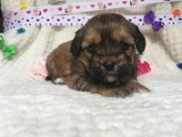 Daisy is a beautiful darling baby girl Shih Poo. Her