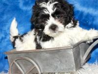 Ollie is a great little Shih Poo! He has a gorgeous