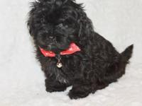 Snickers is the sweetest little Shih Poo! His mom,
