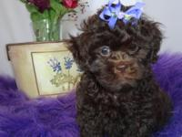 Gucci is a gorgeous chocolate Shihpoo puppy. She is a