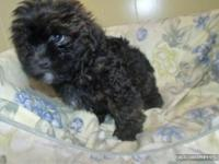 Thanks for looking at our Shih Tzu Poodle puppies. All