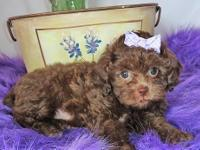 Poppy is a gorgeous chocolate Shihpoo puppy. She is a