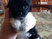 Shipoo male puppy very loving he will come with shots