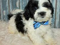 Snickers is an adorable little Shih Poo! He has a