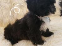 Male Shihpoo puppy. Puppies ready March 30 Charting 8-9