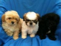 Beautiful 8 week old Shihpoo puppies (mom shih tzu dad