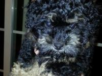 Fantastic 10 week old Shih Poo cute young puppy. Ready