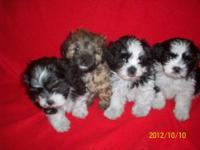 Litter of shihtzu/bichon mixed puppies ,They will be