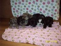 2 litters of shihtzu/bichon/yorkie the 1 one the left