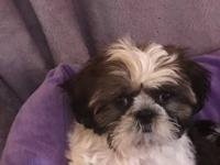 Brooke is an adorable 2 month old shih tzu puppy that