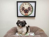 Breed: Shih-Tzu (Imperial) Nickname: Button D.O.B: July