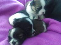 Darling shihtzu/Maltese puppies for sale, will