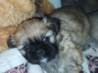 Shihtzu-Pekingese Puppies (mom is shihztu 10lbs & dad