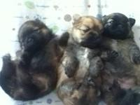 Cute adorable Sherianian puppies (Shihtzu mom and