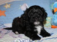 Our cute Shih Tzu Ellie and Poodle Ripper have a litter