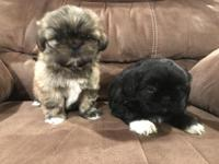 I have 2 beautiful shihtzu puppies left. 1 black male