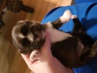 We have 2 female shihtzu puppies looking for their