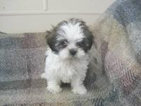 I have two female ShihTzu puppies for sale. They have