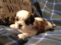 I have 3 gorgeous male ShihTzu's for sale. Born on
