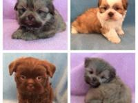 Shihtzu puppies for sale!! Great family pets! Raised
