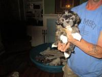 Shihtzu, CKC Reg,7 week old tiny puppies. 1