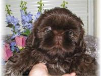 Just the most healthy and spectacular Shihtzu young
