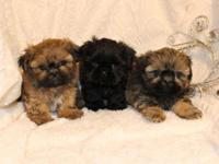 I have numerous AKC Shih-Tzu puppies that prepare to go