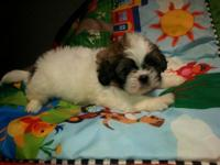 I have these shihtzu puppies Ready to go home they have